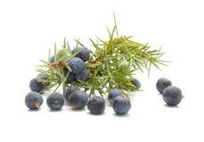 Κοινά φρούτα ιουνιπέρων (ιοuνίπερος κοινό) Στοκ εικόνα με δικαίωμα ελεύθερης χρήσης