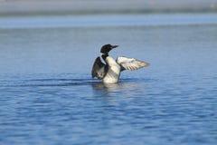 κοινά φτερά τεντώματος χωρ& Στοκ φωτογραφία με δικαίωμα ελεύθερης χρήσης