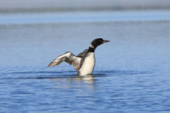κοινά φτερά τεντώματος χωρ& Στοκ εικόνα με δικαίωμα ελεύθερης χρήσης