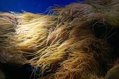 Κοινά ψάρια και λεπτή θάλασσα Anemone κλόουν Στοκ εικόνα με δικαίωμα ελεύθερης χρήσης