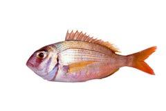 Κοινά ψάρια pagrus τσιπουρών που απομονώνονται Στοκ φωτογραφίες με δικαίωμα ελεύθερης χρήσης
