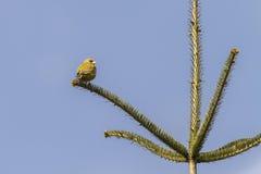 Κοινά chloris Carduelis greenfinch Στοκ Εικόνα