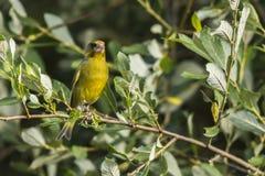 Κοινά chloris Carduelis greenfinch Στοκ Εικόνες