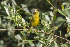 Κοινά chloris Carduelis greenfinch Στοκ Φωτογραφία