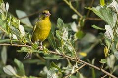Κοινά chloris Carduelis greenfinch Στοκ εικόνα με δικαίωμα ελεύθερης χρήσης