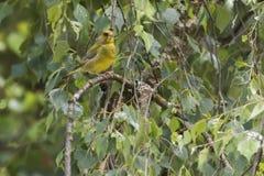 Κοινά chloris Carduelis greenfinch Στοκ φωτογραφίες με δικαίωμα ελεύθερης χρήσης