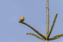 Κοινά chloris Carduelis greenfinch Στοκ Φωτογραφίες