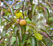 Κοινά Persimmon δέντρο & x28 Diospyros virginiana& x29  στοκ φωτογραφία με δικαίωμα ελεύθερης χρήσης