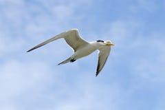 Κοινά Sterna στερνών πουλιά hirundo που πετούν στον ουρανό Στοκ Εικόνες