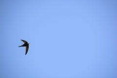 Κοινές κύψελλος ή μύγες apus Apus στο μπλε ουρανό Στοκ φωτογραφία με δικαίωμα ελεύθερης χρήσης