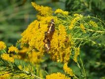 Κοινές πεταλούδες και μέλισσες Στοκ φωτογραφία με δικαίωμα ελεύθερης χρήσης