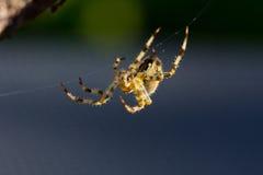 Κοινή αράχνη Στοκ φωτογραφία με δικαίωμα ελεύθερης χρήσης