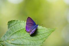 Κοινή βλεφαριδωτή μπλε πεταλούδα emolus Anthene Στοκ Φωτογραφίες