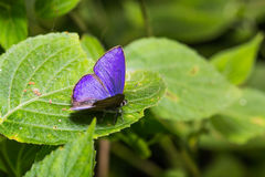 Κοινή βλεφαριδωτή μπλε πεταλούδα emolus Anthene Στοκ Εικόνες