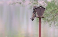 Κοινή γκρίζα θηλυκή ένωση σκιούρων από έναν τροφοδότη πουλιών στοκ φωτογραφίες με δικαίωμα ελεύθερης χρήσης