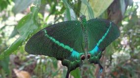 Κοινή ενωμένη πεταλούδα Peacock Στοκ Εικόνες