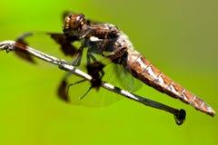 κοινή λιβελλούλη whitetail Στοκ Εικόνες