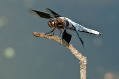 κοινή λιβελλούλη whitetail Στοκ Φωτογραφία