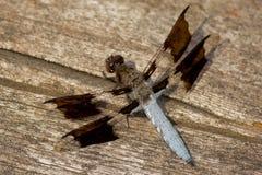 κοινή λιβελλούλη whitetail Στοκ φωτογραφία με δικαίωμα ελεύθερης χρήσης