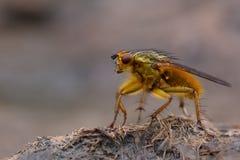 Κοινή κίτρινη μύγα κοπριάς (stercoraria Scathophaga) που στέκεται στο ελαφρύ κτύπημα αγελάδων Στοκ φωτογραφίες με δικαίωμα ελεύθερης χρήσης