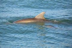 Κοινή κολύμβηση δελφινιών bottlenose μητέρων και μωρών Στοκ εικόνα με δικαίωμα ελεύθερης χρήσης