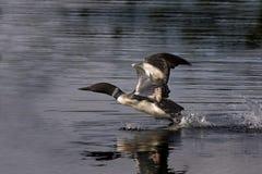 κοινή λήψη χωριατών gavia πτήσης imme στοκ φωτογραφίες