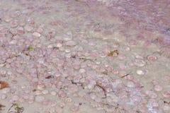Κοινή μέδουσα στη θάλασσα της Βαλτικής στοκ εικόνα με δικαίωμα ελεύθερης χρήσης