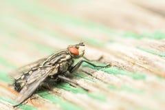 Κοινή μακροεντολή μυγών σπιτιών (Musca Domestica) Στοκ φωτογραφίες με δικαίωμα ελεύθερης χρήσης