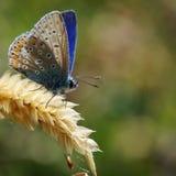 Κοινή μπλε πεταλούδα Basking στον ήλιο στοκ εικόνα