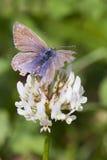 Κοινή μπλε πεταλούδα (Polyommatus Ίκαρος) Στοκ φωτογραφία με δικαίωμα ελεύθερης χρήσης