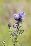 Κοινή μπλε πεταλούδα (Polyommatus Ίκαρος) Στοκ Φωτογραφίες