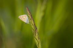 Κοινή μπλε πεταλούδα, Polyommatus Ίκαρος Στοκ φωτογραφίες με δικαίωμα ελεύθερης χρήσης