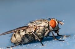 Κοινή μύγα σπιτιών Στοκ φωτογραφία με δικαίωμα ελεύθερης χρήσης