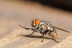 Κοινή μύγα σπιτιών Στοκ Εικόνες