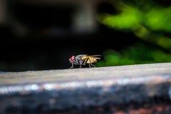 Κοινή μύγα στενό σε επάνω στοκ εικόνες