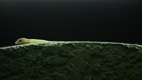 Κοινή μύγα φρούτων κυνηγιού gecko σπιτιών της Ταϊλάνδης φιλμ μικρού μήκους