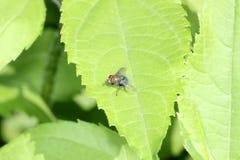 Κοινή μύγα greenbottle Στοκ φωτογραφία με δικαίωμα ελεύθερης χρήσης
