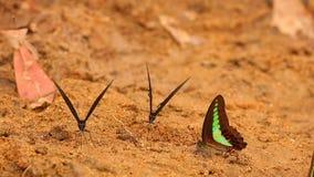 Κοινή πεταλούδα ` s Bluebottle και Spicebush Swallowtail απόθεμα βίντεο