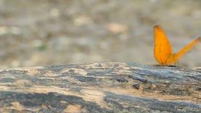 Κοινή πεταλούδα λεοπαρδάλεων που στηρίζεται σε ένα ξύλο απόθεμα βίντεο
