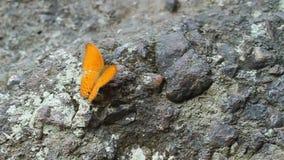 Κοινή πεταλούδα λεοπαρδάλεων που στηρίζεται σε μια πέτρα φιλμ μικρού μήκους