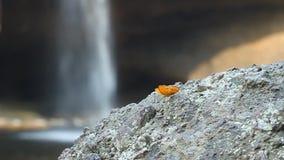 Κοινή πεταλούδα λεοπαρδάλεων που στηρίζεται στην πέτρα με το υπόβαθρο καταρρακτών φιλμ μικρού μήκους