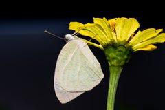 Κοινή πεταλούδα μεταναστών Στοκ Εικόνες