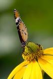 Κοινή πεταλούδα τιγρών Στοκ Εικόνες