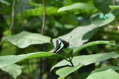 Κοινή πεταλούδα του Jay Στοκ Εικόνες
