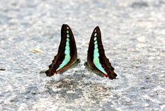 Κοινή πεταλούδα Bluebottle Graphium sarpedon Στοκ Εικόνα