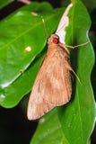 Κοινή πεταλούδα redeye Στοκ Εικόνες