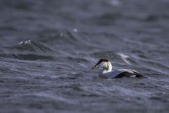 Κοινή πουπουλόπαπια που κολυμπά στη θάλασσα Στοκ Εικόνες