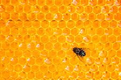 Κοινή πράσινη συνεδρίαση εντόμων μυγών μπουκαλιών στις κηρήθρες με μορφή της hexagon κινηματογράφησης σε πρώτο πλάνο Στοκ Εικόνες