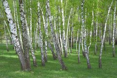 Κοινή σημύδα, δάσος κλαίουσας Σημύδας Στοκ φωτογραφίες με δικαίωμα ελεύθερης χρήσης