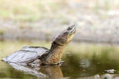 Κοινή σπάζοντας απότομα χελώνα, Γεωργία ΗΠΑ Στοκ Εικόνες